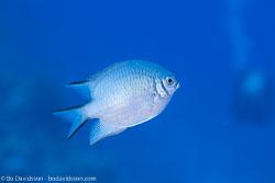 BD-100920-Fury-Shoal-1779-Amblyglyphidodon-leucogaster-(Bleeker.-1847)-[Whitebelly-damselfish].jpg
